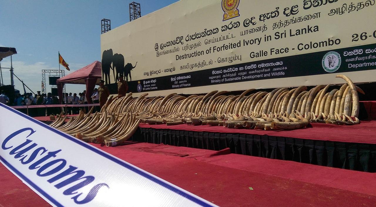 Distrugerea unei capturi de fildes in Sri Lanka